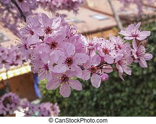 macro of pink flowers on the tree of Prune
