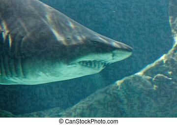 dangereux, requin, taureau, mâchoire, énorme