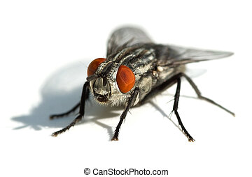Big black fly with red eyes isolated on the white background...