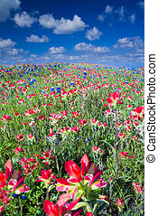 Field of Bluebonnets and Indian Paintbrush Wildflowers Near...