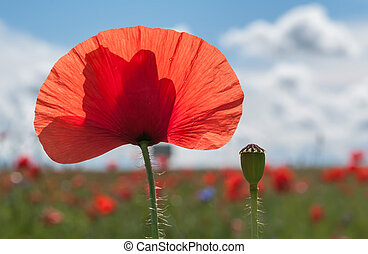 Red poppies on summer meadow