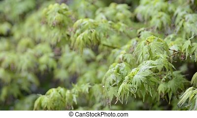 Wet maple branches - Fresh green maple branches wet with...