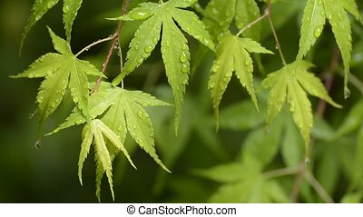 Wet several maple leaves - Several fresh green maple leaves...