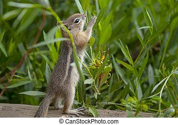 Cute little Chipmunk