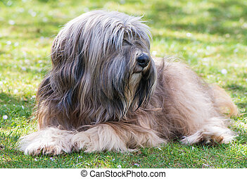 Tibetan Terrier - A male purebred tibetan terrier dog lying...