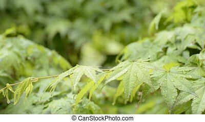Wet maple leaves - Close up fresh green maple leaves wet...