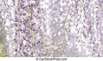 Wisteria flowers in left side - Full blooming purple...