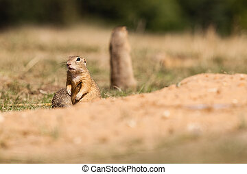 Gopher - Standing and watching Gopher something