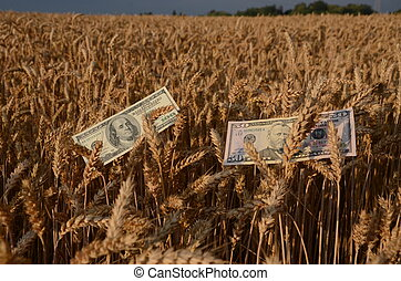 dollars banknotes money on ripe wheat ears in field - dollar...