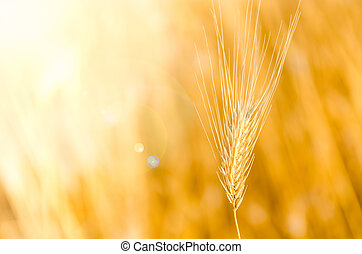Detail of barley with nice bokeh background