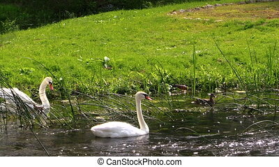 swan pair - Swans pair. White birds swimming in river water....