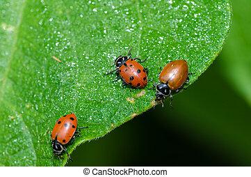 rojo, dama, bicho, escarabajos, alimentación, hoja