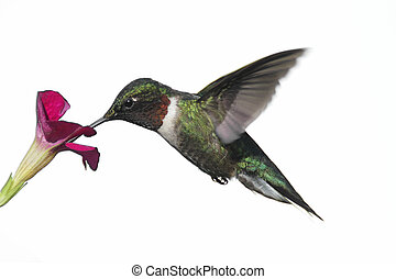 Isolated Ruby-throated Hummingbird - Male Ruby-throated...