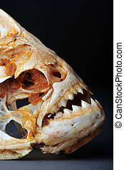 Amazon Piranhas - Large Amazon Piranhas Skeleton
