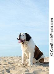 St. Bernard puppy at the beach