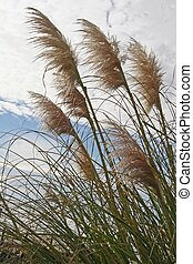 Pampas Grass 1 - Pampas Grass under cloudy skies
