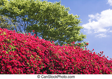 Red azalea and green - Bright red azalea hedge in front of...