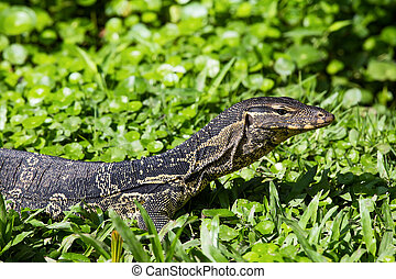 Monitor lizard ( Varanus salvator ) live in the Lumpini park...