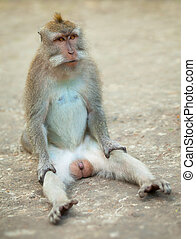Male monkey funny sitting on ground. Macaque crabeater from...
