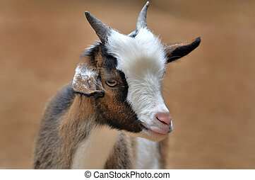young goat - Portrait of a young goat