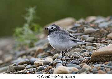 White Wagtail - white wagtail sitting on the rocky shore
