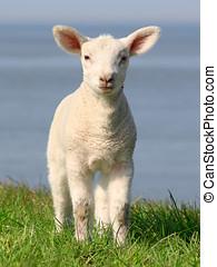 Little lamb -  Lamb on seawall.