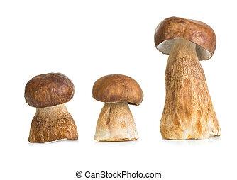 Boletus, cep mushroom isolated on white background