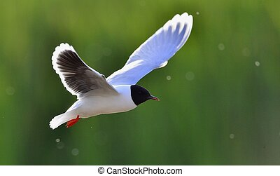 Flying gull - Black-headed Gull (Larus ridibundus) in flight...