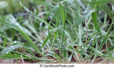 fresh grass after rain with drops of water on it.