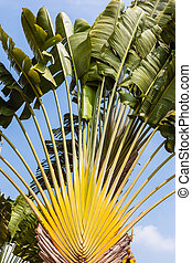 Travellers Palm - Ravenala madagascariensis, commonly known...