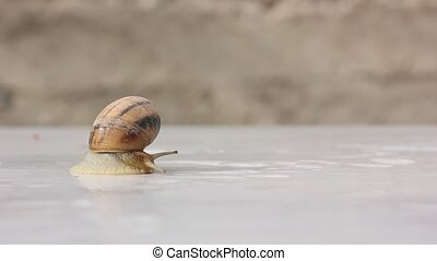Snail peeping out and crawling