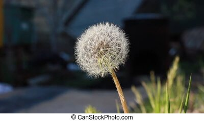Dandelion Flower on the wind