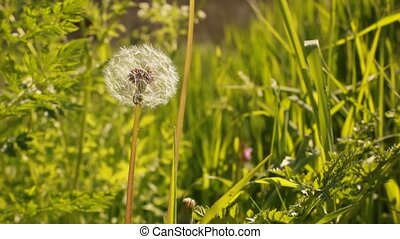 Dandelion Flower - Dandelion flower with green background