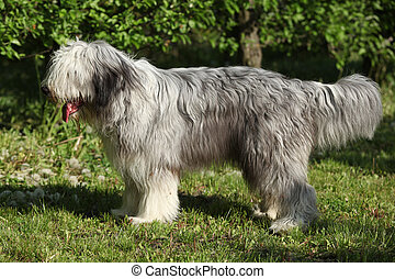 Bearded collie standing in the grass alone - Bearded collie...