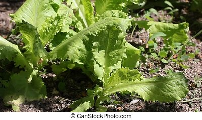salad leaves - fresh salad leaves