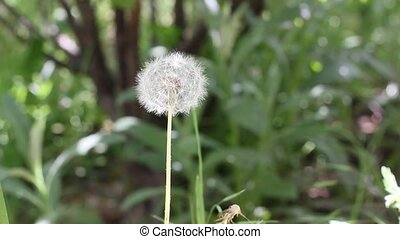 Dandelion Blowing - Dandelion Flower Blow