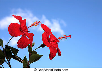 Two Hibiscus Flowers against a blue sky
