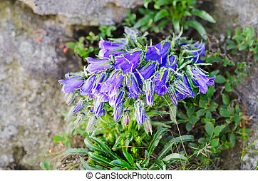 Campanula alpina - Blooming of blue mountain alpine...
