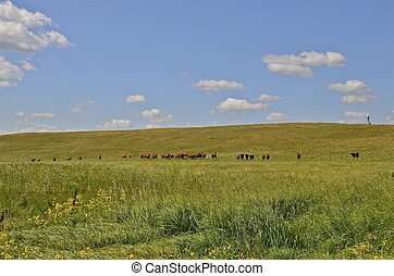 Herd of cows grazing on hill - A herd of beef cows graze the...