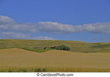 Deserted farm beyond wheat field - A deserted farmstead lies...
