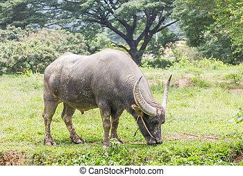 Buffalo grazing in a field width in thailan