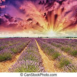 淡紫色, 草地, 夏天, 普羅旺斯, -, 法國