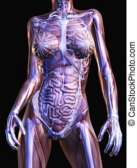 Human Anatomy - Digital Visualization of Human Anatomy