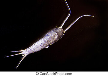 Silverfish - Micro photo of a silverfish