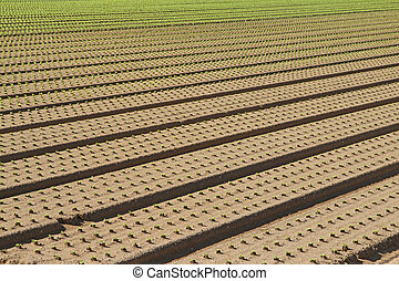 row of seedlings growing in the agricultural field 1