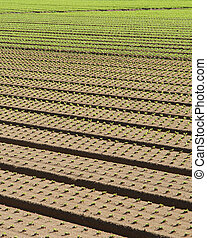 row of seedlings growing in the agricultural field 2