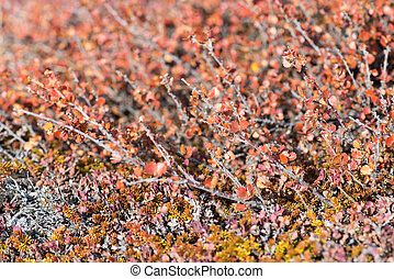 Betula nana, dwarf birch in Greenland in autumn with red...