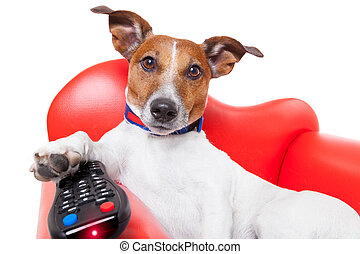 dog tv - dog watching tv or a movie sitting on a red sofa or...