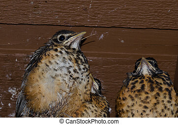 Young Robins in the Nest