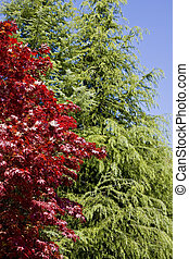 Red Tree and Green Tree - A red japanese maple and a green...